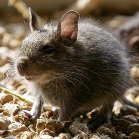 Comment se débarrasser d'un rat ?