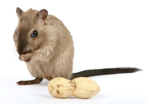 Comment se débarrasser d'un rat dans une maison
