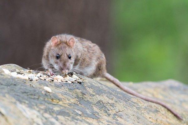Comment tuer des rats ?