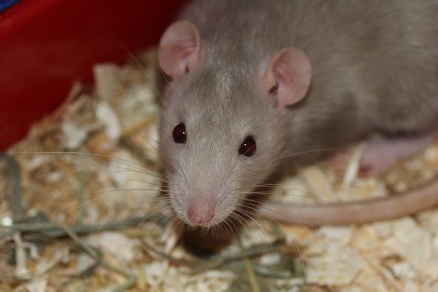 choisir piège à rats