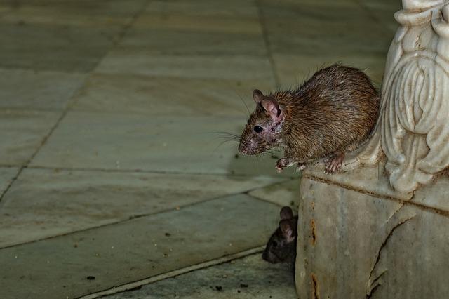 comment combattre les rats
