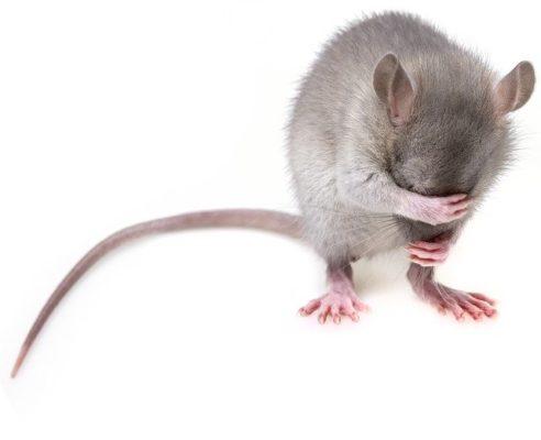comment exterminer un rat
