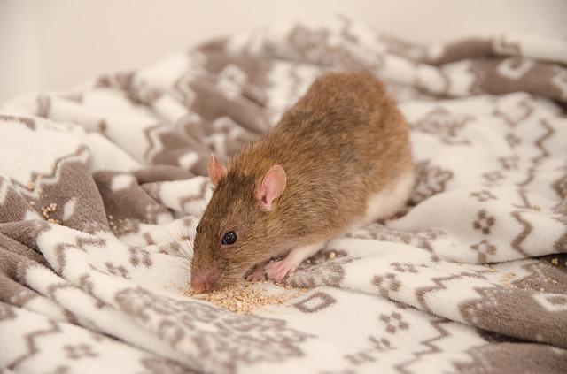 comment lutter contre les rats