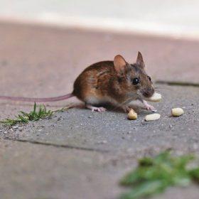 comment tuer une souris