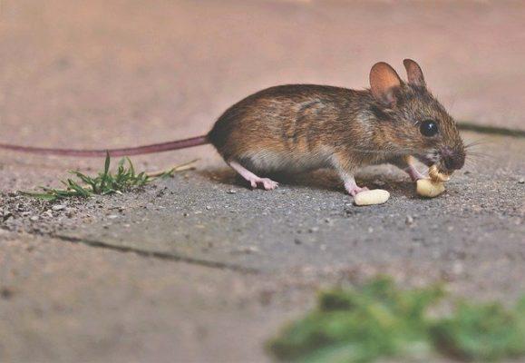 éliminer une souris