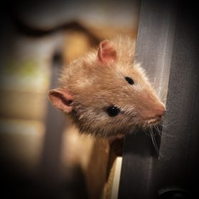 que faire contre les rats