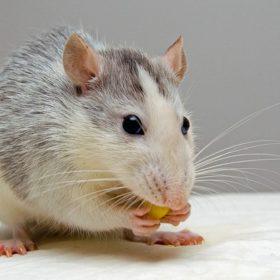 solutions pour éliminer un rat