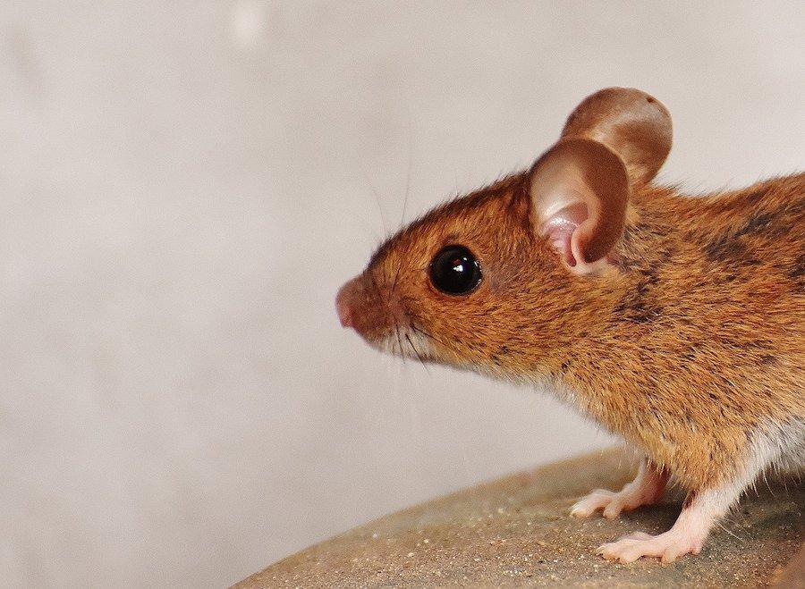 solutions pour se débarrasser des souris